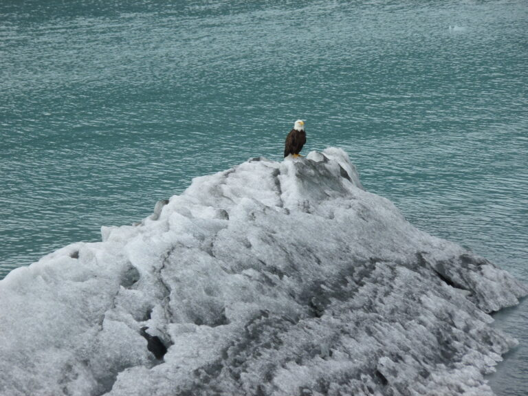 Bald Eagle on ice...
